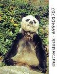 Small photo of Giant Panda (Ailuropoda melanoleuca) adult, feeding, Asia