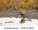 black rhino drinking at moringa ... | Shutterstock . vector #699413347