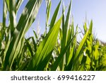 young green corn leaves in the...   Shutterstock . vector #699416227