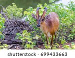 Small photo of Little Common muntjac looking for food. Muntjacs, also known as barking deer and Mastreani deer, are small deer of the genus Muntiacus.