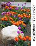 Small photo of Border of orange and purple blooming Tulips 'Princess Irene' and 'Blue Heron' and a big stone in front