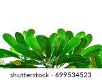 plumeria  frangipani  temple... | Shutterstock . vector #699534523