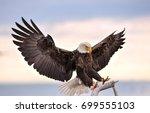 American Bald Eagle Reaching...