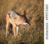 black backed jackal dog eating... | Shutterstock . vector #699571363