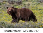 a female grizzly grazes in a... | Shutterstock . vector #699582247