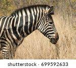 portrait of zebra | Shutterstock . vector #699592633