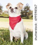 chihuahua park portraits   Shutterstock . vector #699598567