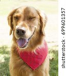 golden retriever park portrait    Shutterstock . vector #699601357