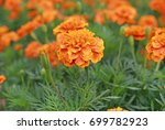 Small photo of French Marigolds, Orange Marigolds (Tagetes erecta, Mexican marigold, Aztec marigold, African marigold)