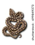 european nose horned viper on... | Shutterstock . vector #699849373