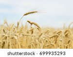 ripe cereal ears close up on... | Shutterstock . vector #699935293