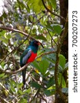 Small photo of A male Slaty-tailed trogon (Trogon massena) perched on a branch. Photographed in the rainforest of La Tirimbina, a nature reserve in the Sarapiquí region of Costa Rica.