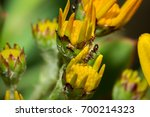 Small photo of Large black ant (formicidae) eating nectar from a yellow flower, Cape Town, South Africa