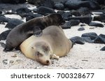 an energetic newborn california ... | Shutterstock . vector #700328677