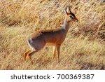african antelope dik dik is the ... | Shutterstock . vector #700369387