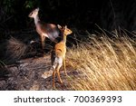 dik dik antelope group. african ... | Shutterstock . vector #700369393