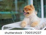 cute pomeranian dog smiling ... | Shutterstock . vector #700519237