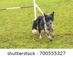 dogs in an agility competition. | Shutterstock . vector #700555327