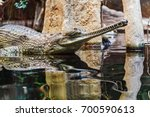 Gharial Head Above Water  It I...