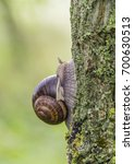 Small photo of closeup shot of a roman snail in natural ambiance