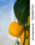Small photo of Capsicum,tree Capsicum,nature