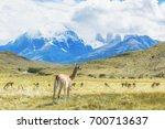 herd of guanacos at torres del...   Shutterstock . vector #700713637