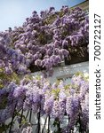 Blossoming Wisteria Tree...