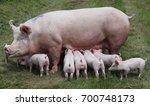 Group of piglets suckling from...