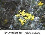 Small photo of Silver Wattle (Acacia podalyriifolia, also known as Mount Morgan wattle), Denmark Western Australia