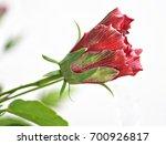 Half Open Red Hibiscus Flower...