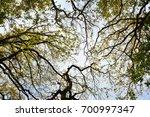 crown trees in the old letea... | Shutterstock . vector #700997347