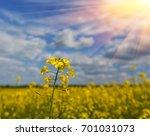 Canola Field  Yellow Rape...