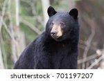 spring roadside black bear... | Shutterstock . vector #701197207