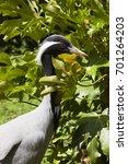demoiselle crane  grus virgo ... | Shutterstock . vector #701264203