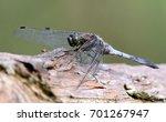 male european black tailed...   Shutterstock . vector #701267947