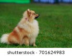 The Small Pomeranian Spitz...