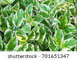 green and white leaf for... | Shutterstock . vector #701651347