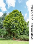 Small photo of Norway Maple, Acer platanoides Almira
