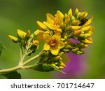 Loosestrife  Garden Yellow...
