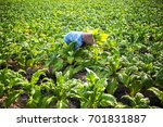 people working on a tobacco... | Shutterstock . vector #701831887