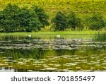 swans on a scenic tranquil lake. | Shutterstock . vector #701855497