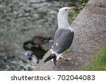Observant Seagull