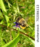Small photo of Shaggy bumblebee on fragrant hops. Closeup. Autumn walks through the forest. Indian summer.