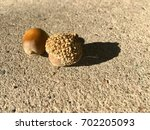 Two Acorns On Cement