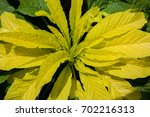 Small photo of Amaranthus tricolor
