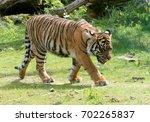 female sumatran tiger  panthera ...   Shutterstock . vector #702265837