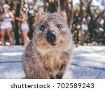 portrait of a smiling quokka on ... | Shutterstock . vector #702589243