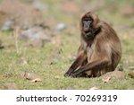 theropithecus gelada  gelada... | Shutterstock . vector #70269319