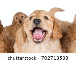 Stock photo labradoodle puppy 702713533
