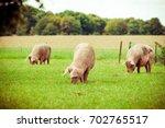 pig farm.  pigs in field.... | Shutterstock . vector #702765517